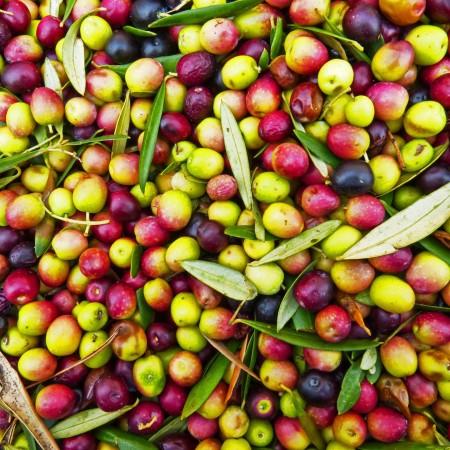 Variété Olive